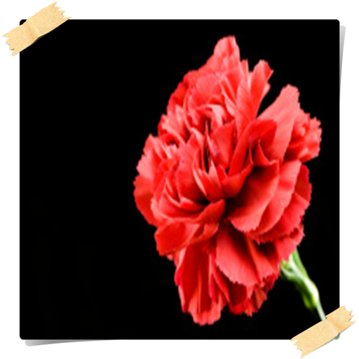 carnation-flowers-onet-connect-game