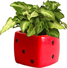 Rolling Nature Good Luck Air Purifying Green Syngonium Plant in Red Dice Ceramic Pot