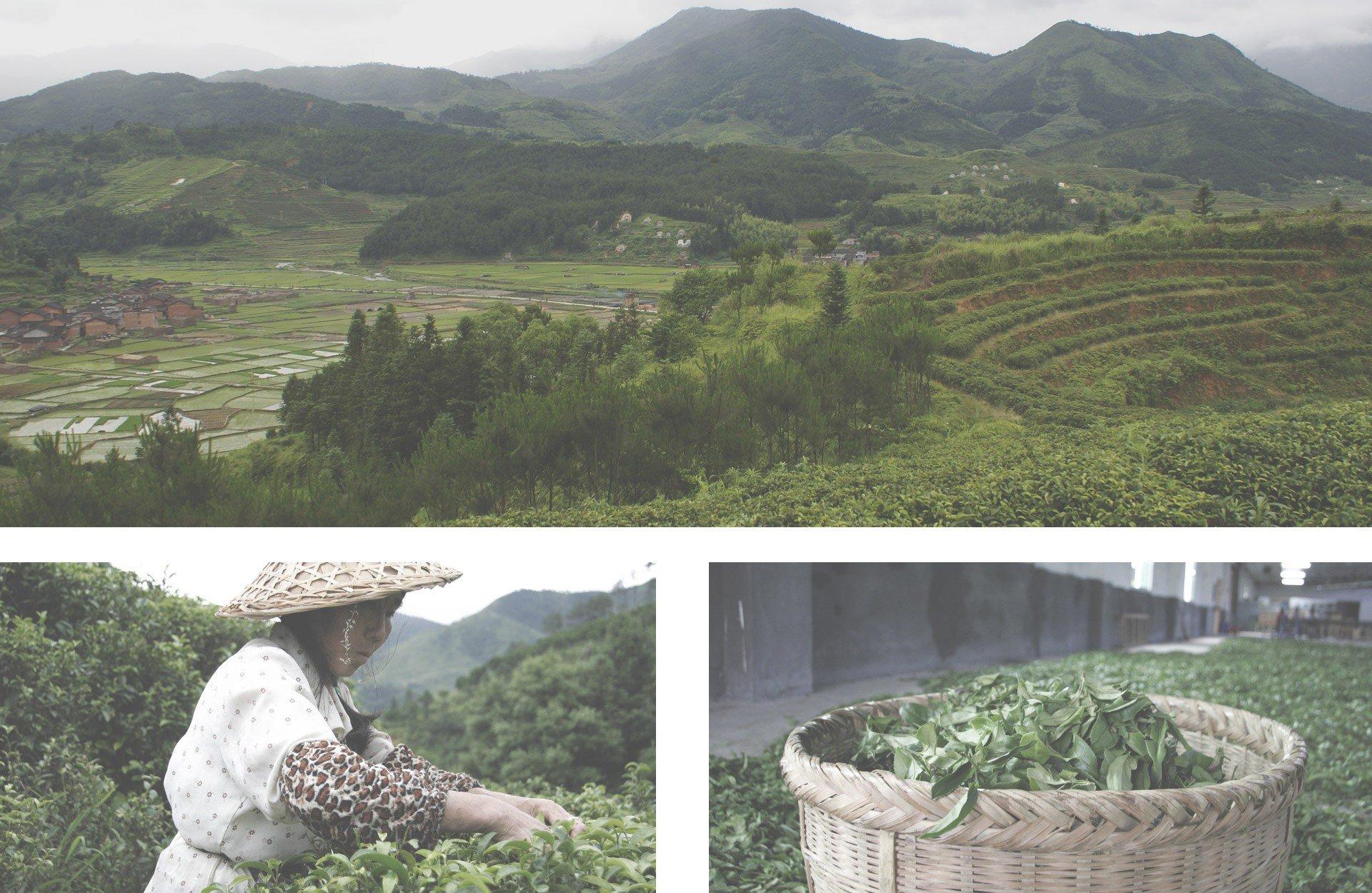 China-Pai-Mu-Tan-100g-Der-Klassiker-unter-den-Weien-Tees-mit-einem-fein-aromatischen-Geschmack