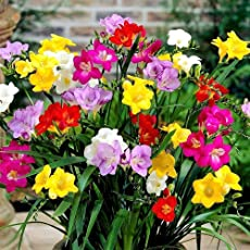 Going Greens Freesia Flower Bulbs Mix (Pack of 5 Bulbs)