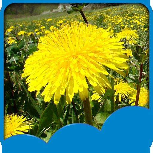 dandelions-live-hintergrundbilder