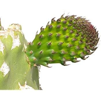 eastern prickly pear