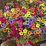 nulala100 pcs Colgante Petunia Semillas mezcladas Color Ondas Hermosas flores para jardín, Planta de patio trasero