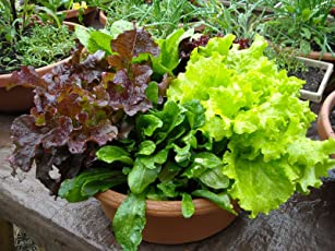 Go Green Lettuce Mixed Leaves-80 Seeds