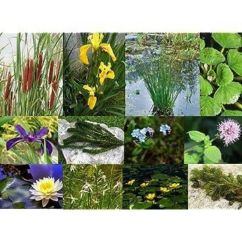- Marginal pond plant Pond Harlequin plant Houttuynia cordata 'Chameleon'