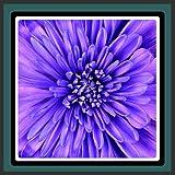 Live Wallpapers Fleur violette