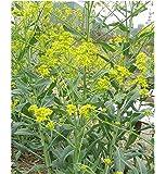 10x Färberwaid zweijährige Isatis tinctoria Samen Färberpflanze #416