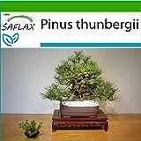 SAFLAX - Pino nero giapponese - 30 semi - Con substrato - Pinus thunbergii