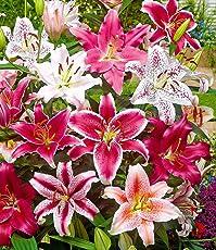 """BALDUR-Garten Lilien-Mix""""Parfum"""", 5 Zwiebeln Lilium duftend Blumenzwiebeln winterhart"""