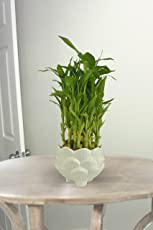 Exotic Green 3 Layer Feng Shui Bamboo Indoor Plant