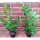 30 Kirschlorbeer Pflanzen, Höhe: 30-40 cm ab Topf, Prunus laurocerasus Rotundifolia