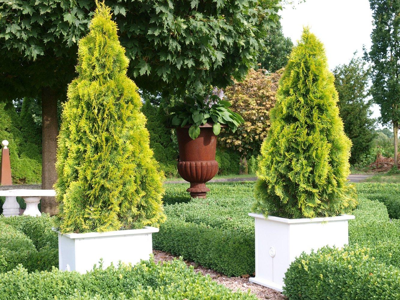 Thuja Smaragd Occidentalis Lebensbaum winterhart & pflegeleicht
