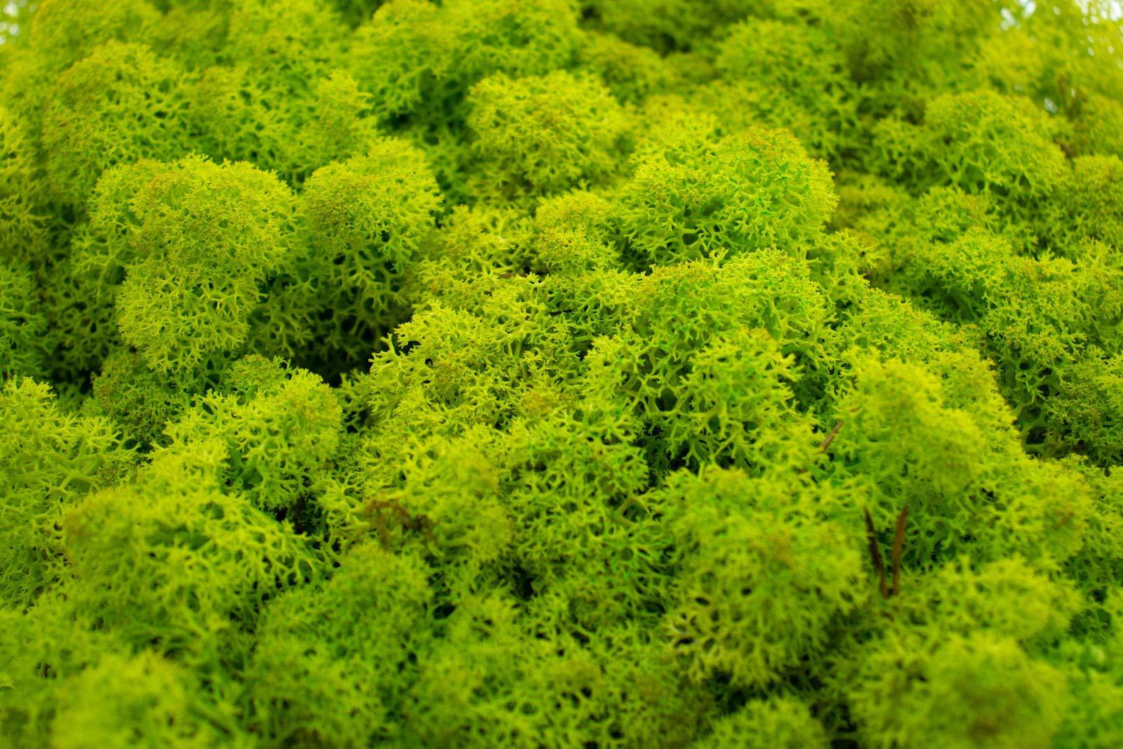 Islandmoos tannengrün 500g konserviert dunkelgrün kräftig grün waldgrün moosgrün