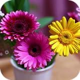 Gerberas Flower Wallpapers
