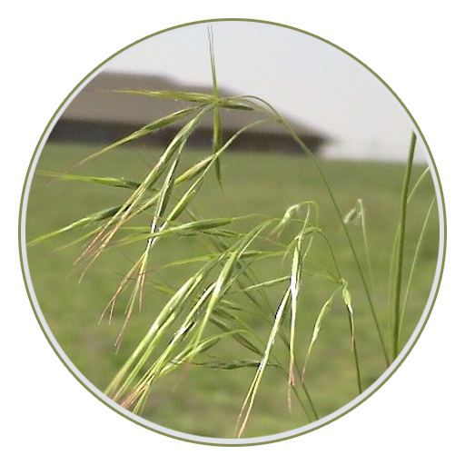 cheatgrass-downy-browne