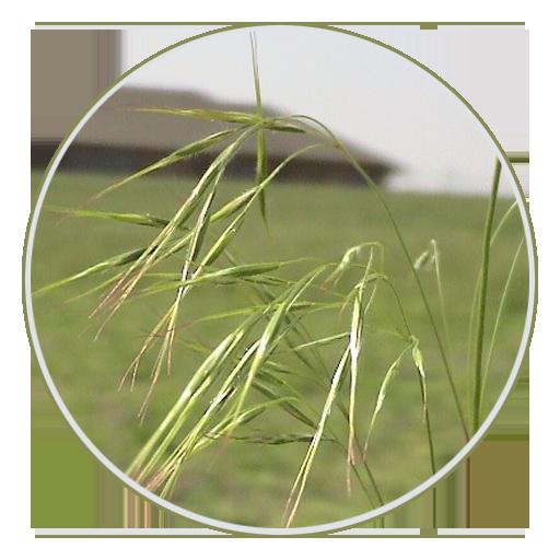 cheatgrass-downy-browne
