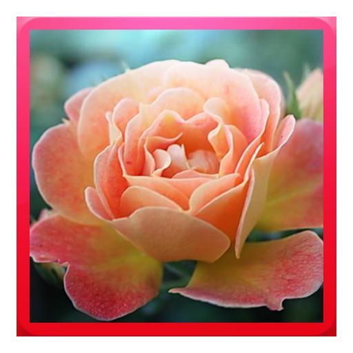 Beautiful Rose Wallpapers (JJNA) -