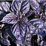 RWS Albahaca roja Rubin mejoró - rojo/azul - muy fragante - 100 semillas