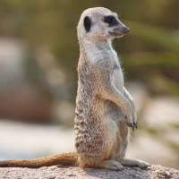 Meercat Cute Wallpapers