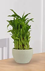 Exotic Green Indoor Good Luck 3 Layer Bamboo Plant