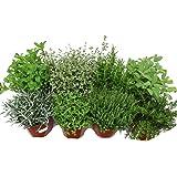 Kit 8 Plantas Aromáticas: Lavanda, Romero, Tomillo, Tomillo Limón, Salvia, Lavanda Dentata, Menta y Hierbabuena