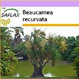 SAFLAX - Pata de elefante - 10 semillas - Beaucarnea recurvata