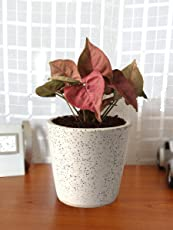Rolling Nature Good Luck Air Purifying Live Pink Syngonium Plant in White Bucket Dew Ceramic Pot