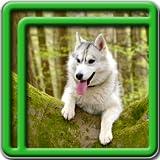 Husky Live Wallpapers