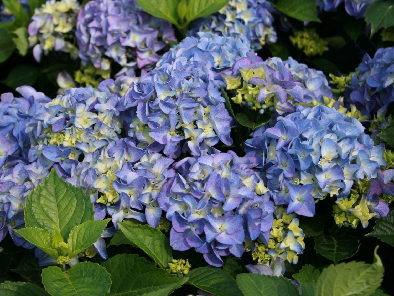 1 PIANTA DI HYDRANGEA MACROPHYLLA ORTENSIA EARLY BLUE VASO 17CM caducifoglia