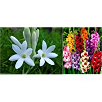 Kraft Seeds Gate Garden Rajnigandha Double Flowering Fragrant Polianthes Tuberosa Flower Bulbs/Seeds and Kraft Seeds Gate Garden Gladiolus Flower Bulbs (Multicolor, Pack of 15)