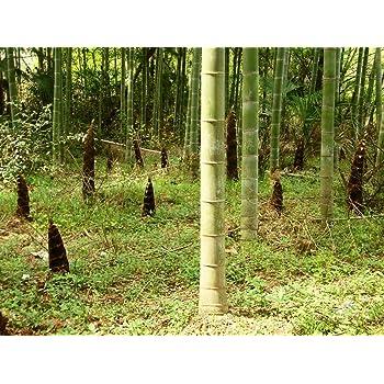 Phyllostachys pubescens MOSO Bambus 100 Samen. Direktimport aus China Februar 2017