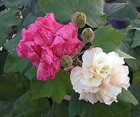 Live Plant - Rare Hibiscus Mutabilis/Confederate rose/Cotton rose/Dixie rosemallow/Cotton rosemallow Flower Live Plant - 1 Healthy Live Plant