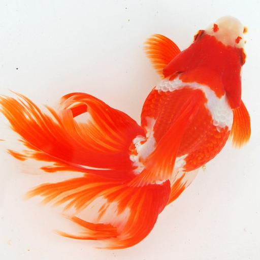japanese-goldfish