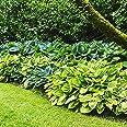 Hosta Plantas decorativas Bulbos de flores Plantas de exterior Plantas jardin vivas 7x Rizomas Hosta 7x Mix