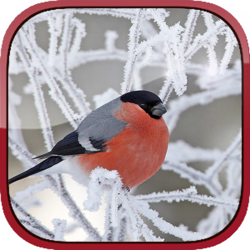 Bullfinch HD Live Wallpapper