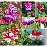20 RARE Seeds Tree Fuchsia-Fuchsia excorticata-Fuchsia-Tree Fuchsia seed