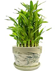 Nurturing Green Lucky Bamboo Two Layer