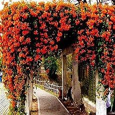 Keland Garten - Chinesische Trompetenblume grandiflora Schling-/kletterpflanze, ganzjährig pflanzbar frosthart