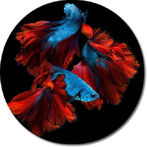 Betta Fish Hd Wallpapers Amazonde Apps Für Android