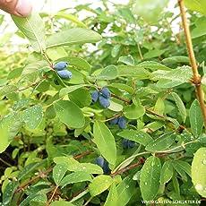 Heidelbeere - Blaubeeren Pflanze mit guten Erträgen. Ein Heidelbeerstrauch Qualitätspflanze im Container von Garten Schlüter