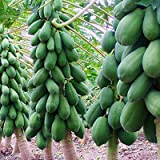TOYHEART 100 Piezas De Semillas De Frutas De Primera Calidad, Semillas De Papaya, Semillas De Papaya Dulce Amarillas Pequeñas