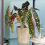 Manchado Begonia Maculata | Popular Planta de interior | 20 – 30 cm con maceta