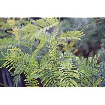 Mimosa Pudica Pianta di Mimosa Pudica in vaso - 5 Piante in Vaso 7x7