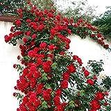 TOYHEART 100 Piezas De Semillas De Flores Premium, Semillas De Rosas Trepadoras, Cultivos De Colores Brillantes De Crecimient