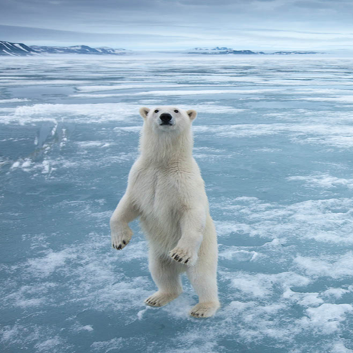 Polar Bear Live Wallpaper Best Amazon De Apps Fur Android