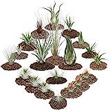 1 uppsättning av 20 växter inklusive 3 XXL växter