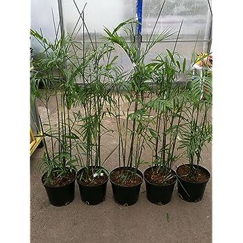 Bambuspalme 140 170 Cm Chamaedorea Seifrizii Bergpalme Zimmerpflanze