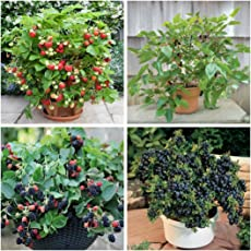Primrose Gardens Dwarf Potted Fruit Strawberry, Blackberry, Mulberry and Blueberry Seeds Combo