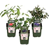 50 pièces rares Rhizoma Curcuma Graines de fleurs Curcuma graines alimentaires Assaisonnement Antibiose intérieur Plantes en pot Bonsai sain jardin 11