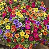 TOYHEART 200 Piezas De Semillas De Flores De Primera Calidad, Semillas De Petunia Coloridas Semillas De Petunias De Bajo Crec